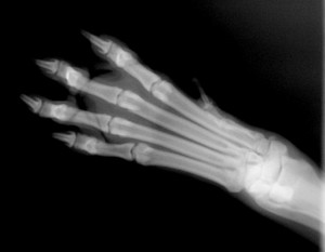 x-ray image paw