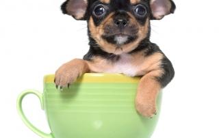 teacup dogs