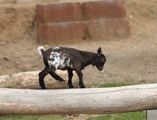 Pygmy Goat Health–Part III