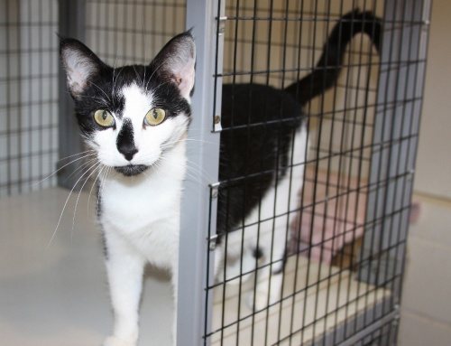 June is National Adopt a Shelter Cat Month