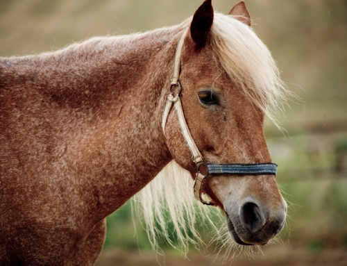 Equine Respiratory Allergies – Heaves