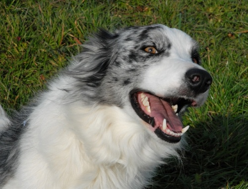 A Shepherd's Best Friend:  The Border Collie
