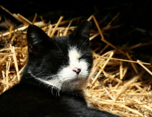 Why You Should Consider a Barn Cat