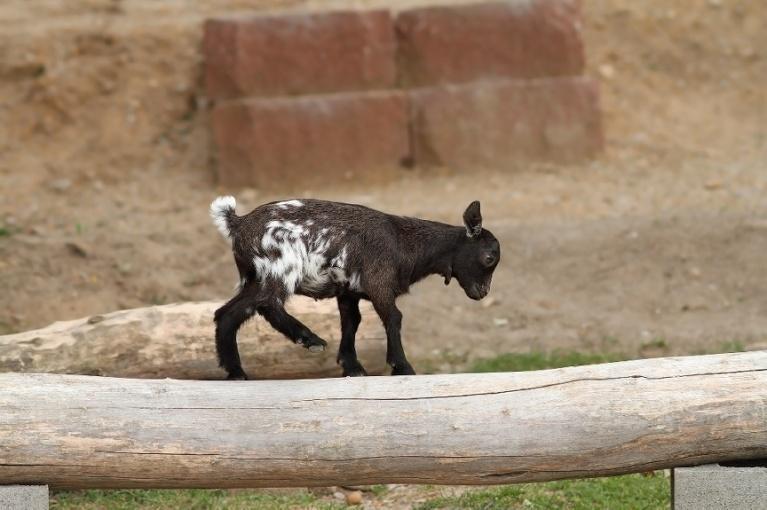 Pygmy Goat Health--Part III