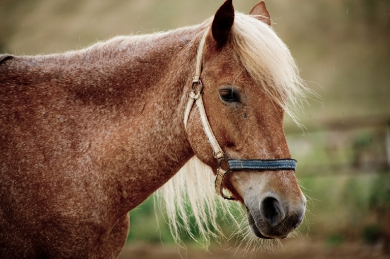 horse copd
