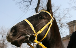 horse head toss